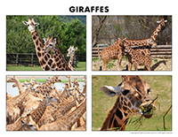 Poni discovers and presents-Giraffes