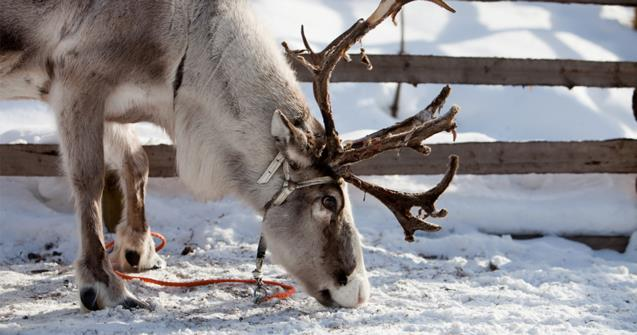 "Learn how to say ""reindeer"" in French - Extra activities - Educatall"